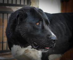 My dog, Central asian Shepherd