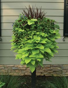 potato vine is always a good trailing plant!  love using it in the landscape.