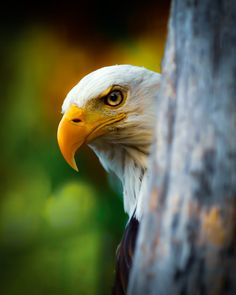Shy Eagle by Peter Comninellis / 500px