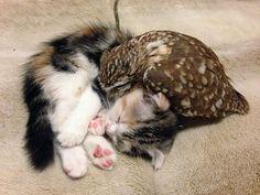 Fuku é um filhote de coruja e Marimo é um filhote de gato. O que essas duas coisas imensamente fofas têm em comum? Não sabemos, mas deve ser muita coisa, visto que se tornaram melhores amigos. Ambos vivem no Café Hukulou em Osaka, no Japão.