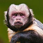 Brown Capuchin Monkey Facts - Tambopata Wildlife