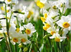Красивые фото цветов - нарциссы