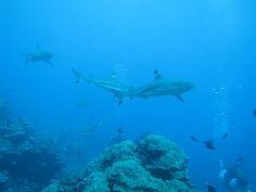 Raiatea dive in Tahiti - sharks galore!