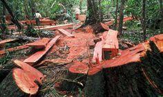 Corte ilegal de troncos en bosques tropicales de tierras bajas. El lugar exacto de la imagen no está especificado.  Créditos: World Wildlife Fund