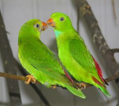 Pair of  Vernal Hanging Parrot (male on right)
