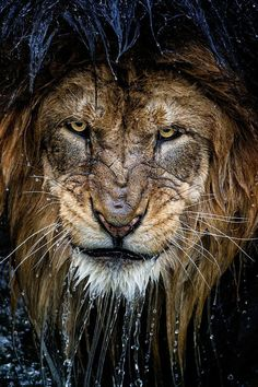 A stunning picture of a lion. Front page Reddit, 5/3/14, posted by u/CopyX