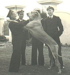 Just Nuisance was the only dog ever to be officially enlisted in the Royal Navy. He was a Great Dane who between 1939 and 1944 served at HMS Afrikander, a Royal Navy shore establishment in Simon's Town, South Africa. He died in 1944 at the age of seven years and was buried with full military honors.