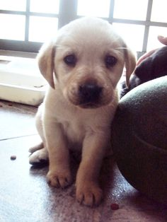 always wanted a little lab. I remember when my Chief was this little. 10yrs old now.