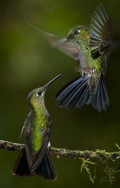 elfentau:  ~* Hummingbirds * Lieeeeeeeeebe Dich! *~