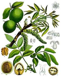 "Walnut / Juglans regia: ""For those who have definite ideals and ambitions in… Botanical Drawings, Botanical Illustration, Botanical Prints, Espalier, Bach Flowers, Impressions Botaniques, Illustration Botanique, Healing Herbs, Medicinal Plants"