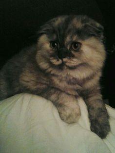 Sweet scottish fold kitten