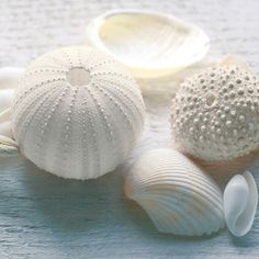 White sea urchins shells and seashells