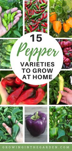 This post sponsored by Kellogg Garden is all about 15 types of peppers to grow in your garden. Learn about these pepper varieties, and then choose a few to plant in the garden. tips peppers Types of Peppers - Pepper Varieties Stuffed Anaheim Peppers, Stuffed Banana Peppers, Stuffed Poblano Peppers, Stuffed Green Peppers, Garden Types, Purple Pepper, Types Of Peppers, Pepperoncini Peppers, Growing Peppers