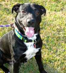 Houston, TX  Tony is a young lab mix  Please adopt or foster him at www.scoutshonor.com