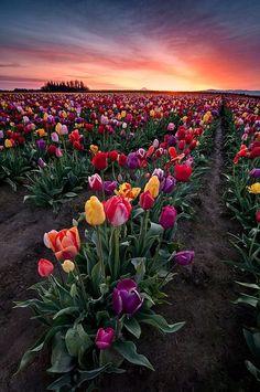 Tulip field in Woodburn, Oregon
