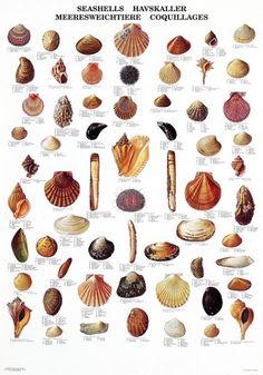 Beautiful nature posters with e. fish, birds, trees, plants, and wildlife. Seashell Art, Seashell Crafts, Seashell Identification, Fish Chart, Pierre Decorative, Nature Posters, Sea Witch, Marine Biology, Beach Art