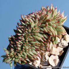 Echeveria agavoides f. cristata