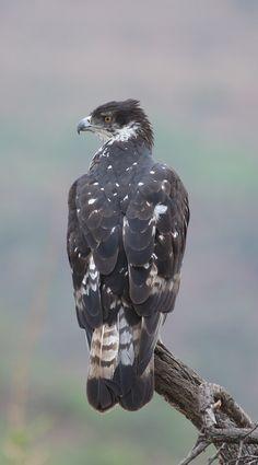African hawk eagle.
