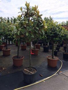 Koop nu de Beverboom (Magnolia grandiflora 'Galissoniere') v.a. € 148,75 p/st bij Directplant! ✓Voordelige staffelprijzen ✓Lage verzendkosten ✓45 gratis afhaalpunten ✓Groeigarantie! beverboom