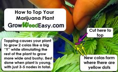 Topping your marijuana plant causes it to produce 2 colas while stimulating the rest of the plant to grow bushier. Original link: http://growweedeasy.com/how-to-grow-short-bushy-marijuana-plants