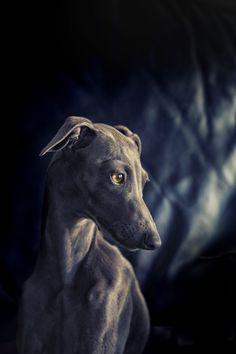 italian greyhound - null