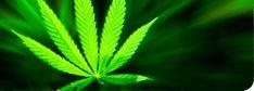 """Immer mehr Erfahrungsberichte (wir berichteten bereits in unserem Beitrag """"Hanf heilt! Nicht durchs Rauchen, sondern auf eine andere Weise"""" darüber), bestätigen  die Wirksamkeit von Hanf (Cannabis) bei der Behandlung und Heilung von Krebs.  – Selbst in schwierigen Fällen, in denen Patienten nach Chemo- und Strahlentherapie durch die Schulmedizin für """"austherapiert"""" erklärt wurden!"""