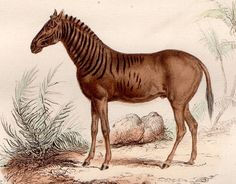 1860 quagga extinct animal print original от antiqueprintstore