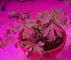 Petersilie #LED #pflanzen #lampe Plants, Parsley, Horticulture, Lighting, Flora, Plant
