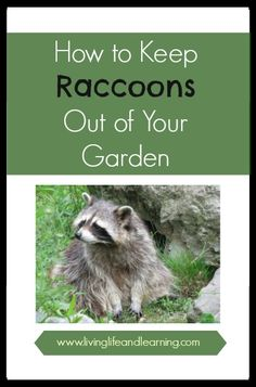 Get Rid of Raccoons Other Home and The ojays