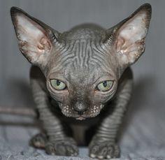 sphynx kitten baby rah