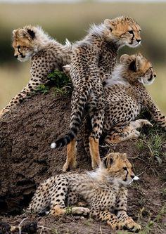 cheetahs by Perla Marie