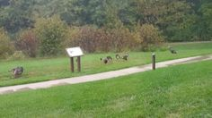Turkeys out for a walk with the babies