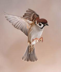 Fliegender Spatz Flying Tree Sparrow by Henny Egdom van on Pretty Birds, Love Birds, Beautiful Birds, Animals Beautiful, Small Birds, Little Birds, Sparrow Bird, House Sparrow, Photo Animaliere
