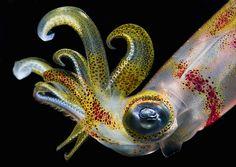 Loligo squid by Noam Kortler