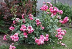 Kordes Pomponella Rose