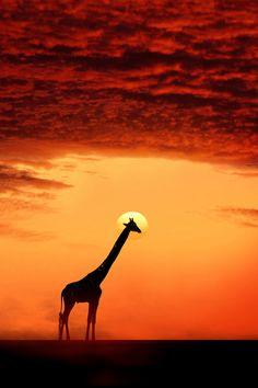 ♀ Wildlife photography animals Sunset Giraffe