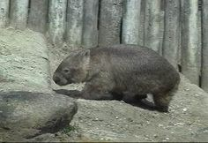 Bare-nosed Wombat