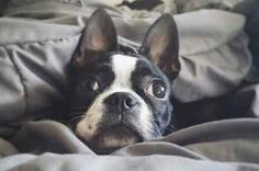 11 Reasons Boston Terriers Are Man's True Best Friend