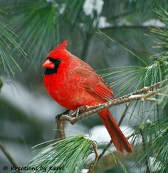 Northern cardinal on a pine tree with snow.  Simply beautiful.