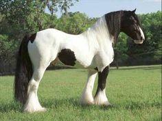 Irish Cob Horse