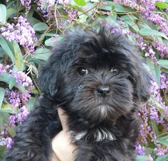 Adorable black Havanese puppy! Looks just like our dog Teddy when he was that little.