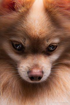 Canine beauty shot.  Sweet little pomeranian.