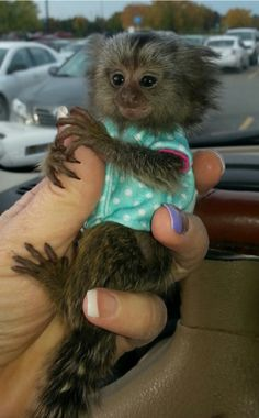 common white tuft marmoset monkey