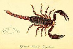 Buthus bengalensis, now called…  Bengal Giant Forest Scorpion (Heterometrus bengalensis)  from Die Arachniden: Getreu nach der Natur abgebildet und beschriebe, 1831-1848, von C. L. Koch.