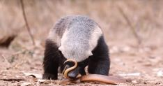 social medient phenomenon; honey badger