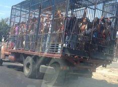 En #Venezuela hay #Caos; ha #Colapsado  el #TransportePúblico; usan #CamionesDeCarga para traslado de #PasajerosHumanos; en la #Foto #CamiónDeGanado en #LasCalles de la #LaGuaira #EstadoVargas una de las principales ciudades, puerto y aeropuerto (#Maiquetía) del #PaísPetrolero; tomada hoy Miércoles, 28 de febrero de 2018 |||Más detalles en #Twitter