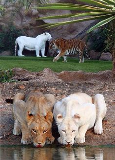 """Albino & normal lions. See the difference between a """"normal"""" and albino lion."""