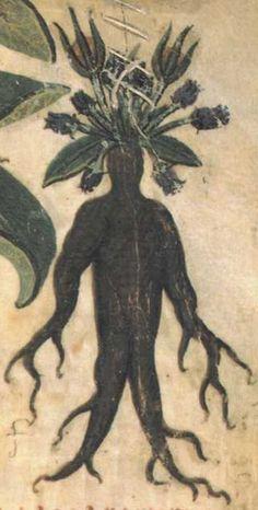 Mandragora, female, 700, Dioscorides, Codex neapolitanus Ms. Ex Vindob. Gr. 1 -Detail
