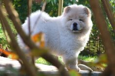 Polo the Chow 15 | Flickr - Photo Sharing!