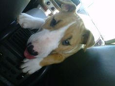 puppy on the road chico the bull terrier 2 months old
